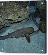 Leopard Shark Courting, Blue Zoo Acrylic Print