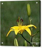 Lily Flowers Acrylic Print