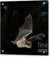Little Brown Bat Acrylic Print