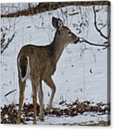 Little White Tail On The Move Acrylic Print