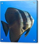 Longfin Spadefish, Papua New Guinea Acrylic Print