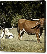 Longhorn Cows Ressting Acrylic Print by M K  Miller