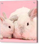 Lop Rabbits Acrylic Print