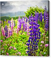 Lupins In Newfoundland Meadow Acrylic Print