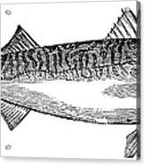Mackerel Acrylic Print