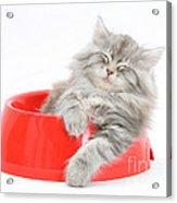 Maine Coon Kitten Acrylic Print