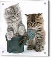 Maine Coon Kitttens Acrylic Print