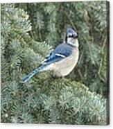 Majestic Blue Jay Acrylic Print