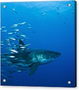 Male Great White Shark And Bait Fish Acrylic Print