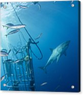 Male Great White Shark And Divers Acrylic Print