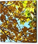 Maple Leaf Canopy Acrylic Print