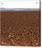 March Of The Sunflowers Acrylic Print