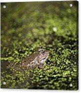 Marsh Frog Acrylic Print
