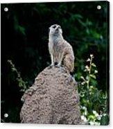 Meerkat Acrylic Print