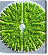 Micrasterias Denticulata Acrylic Print