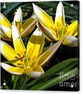 Mini Botanical Tulip Named Dasystemon Tarda Acrylic Print