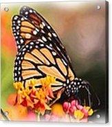 Monarch And Milkweed Acrylic Print