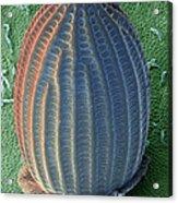 Monarch Butterfly Egg, Sem Acrylic Print