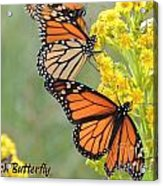 Monarch Butterfly Acrylic Print by Laurence Oliver