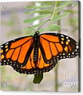 Monarch Majesty Acrylic Print