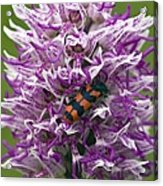 Monkey Orchid (orchis Simia) Acrylic Print