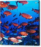 Moontail Bullseye Fish Acrylic Print