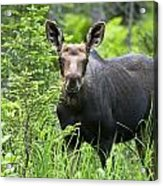 Moose. Two Month Old Moose Standing Acrylic Print