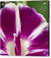 Morning Glory (ipomoea Purpurea) Acrylic Print