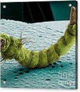 Mosquito Larva, Sem Acrylic Print