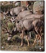 Mule Deer Bucks Acrylic Print