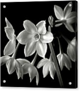 Narcissus In Black And White Acrylic Print