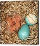 Newborn Robin Nestlings Acrylic Print