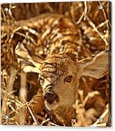 Newly Born Fawn Hiding In A Saskatchewan Field Acrylic Print
