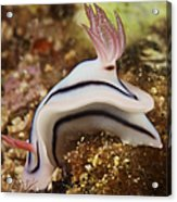 Nudibranch Feeding On The Reef, Fiji Acrylic Print