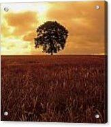 Oak Tree In A Barley Field, Ireland Acrylic Print