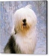 Old English Sheepdog Acrylic Print