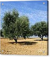 Olives Tree In Provence Acrylic Print