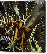 Orange And Brown Elegant Squat Lobster Acrylic Print