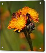 Orange Hawkweed Acrylic Print