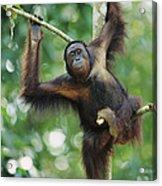 Orangutan Pongo Pygmaeus Adult Sitting Acrylic Print