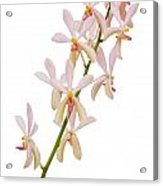 Orchid Panicle Acrylic Print