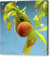 Organic Peach Tree, Acrylic Print by Pete Starman