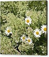 Ox-eye Daisies (leucanthemum Vulgare) Acrylic Print