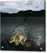 Pacific Ridley Turtle Lepidochelys Acrylic Print