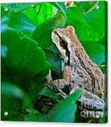 Pacific Tree Frog Acrylic Print