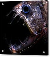 Pacific Viperfish Acrylic Print