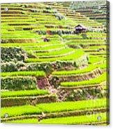 Paddy Rice Fields Acrylic Print