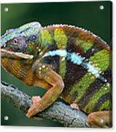 Panther Chameleon Chamaeleo Pardalis Acrylic Print