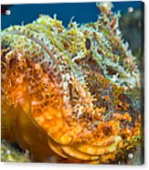 Papuan Scorpionfish Lying On A Reef Acrylic Print