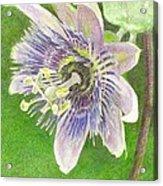 Passiflora Alatocaerulea Acrylic Print by Steve Asbell